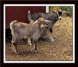 Baby Goats 070