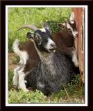 Goat with baby 047