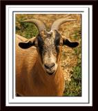 Goat 041
