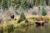 Moose family (bull, cow & calf)