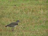 Southern Lapwings / Alcaravan