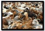 Goats in the Carral, Tov Aimag
