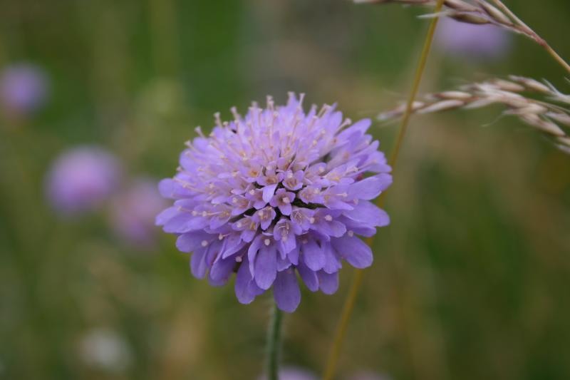 Scabious in blue