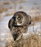 Great Gray Owl 5
