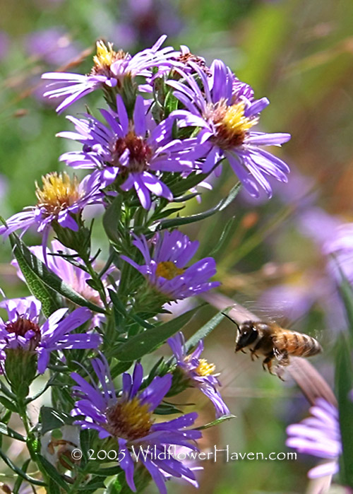 Tall Aster and Bee