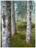 Beech Forest in Fjaerland