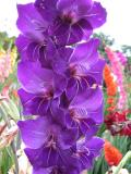 Gladiolus in Purple