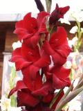 Gladiolus in Red