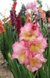 Gladiolus In Pink