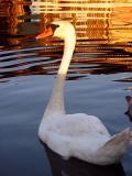 Golden Swan Lake
