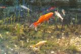 Golden Fish, Make My Wish