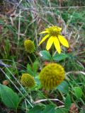 Wayside Yellows
