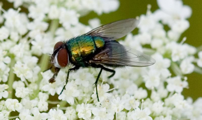 Green Fly on White Flowers