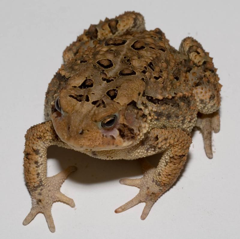 Toad on a piece of white paper