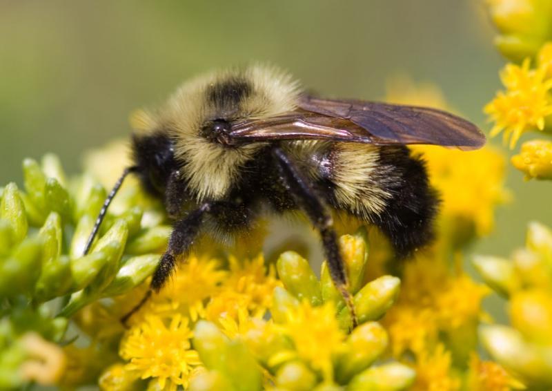 Mountain Bee
