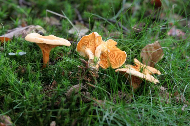 Hygrophoropsis aurantiaca (False Chanterelle) 1