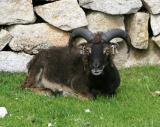 Relaxing Soay sheep