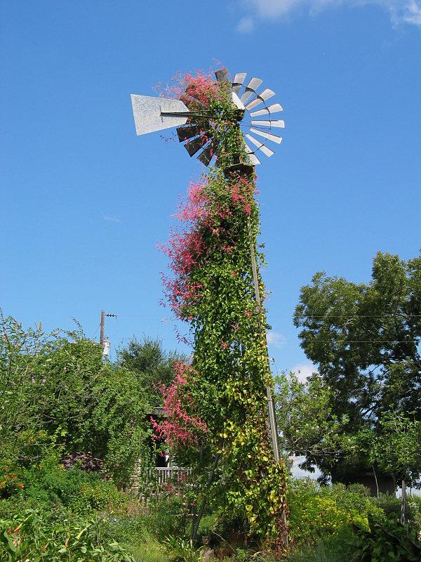 Coral Vine (Antigonon leptopus) on windmill