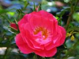 Flower Carpet Pink rose