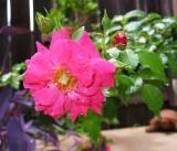 Flower Carpet Pink rose after rain
