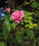 Pink rose by the back gate