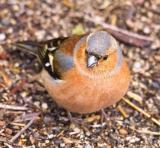 Chaffinch - male - (Fringilla coelebs)