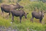 Moose, Homer, AK, 2005