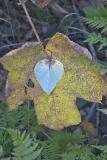 Leaves, Kenai, AK, 2005