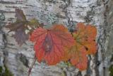 Leaves Near Talkeetna