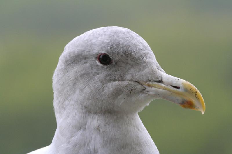 Gull Encounter