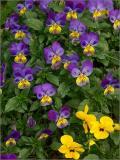 Violet swarm