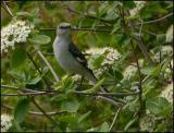 Northern Mockingbird 5637.jpg