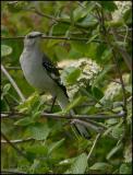 Northern Mockingbird 5641.jpg