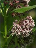 Milkweed 6400.jpg