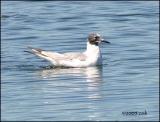 IMG_7740 Bonapartes Gull .jpg