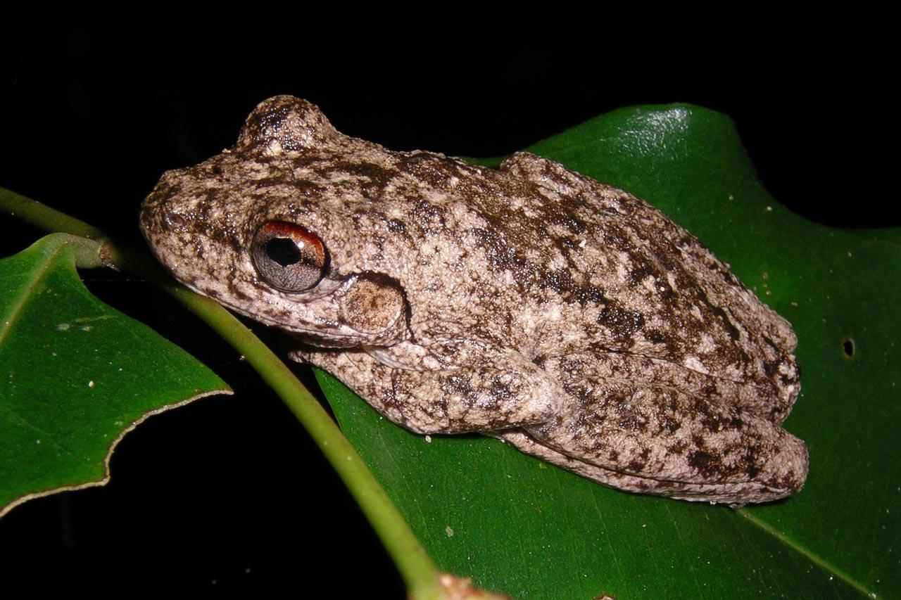 Litoria rothi in rainforest, Kirrama 2005 (IMGP3118)