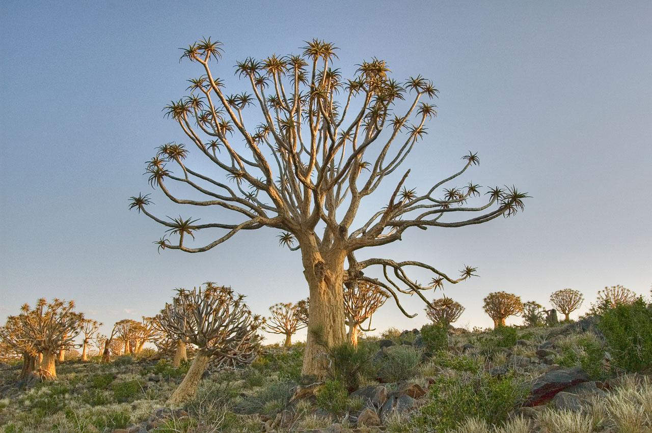 kokerboom (quiver trees) near Kenhardt _DSC2171