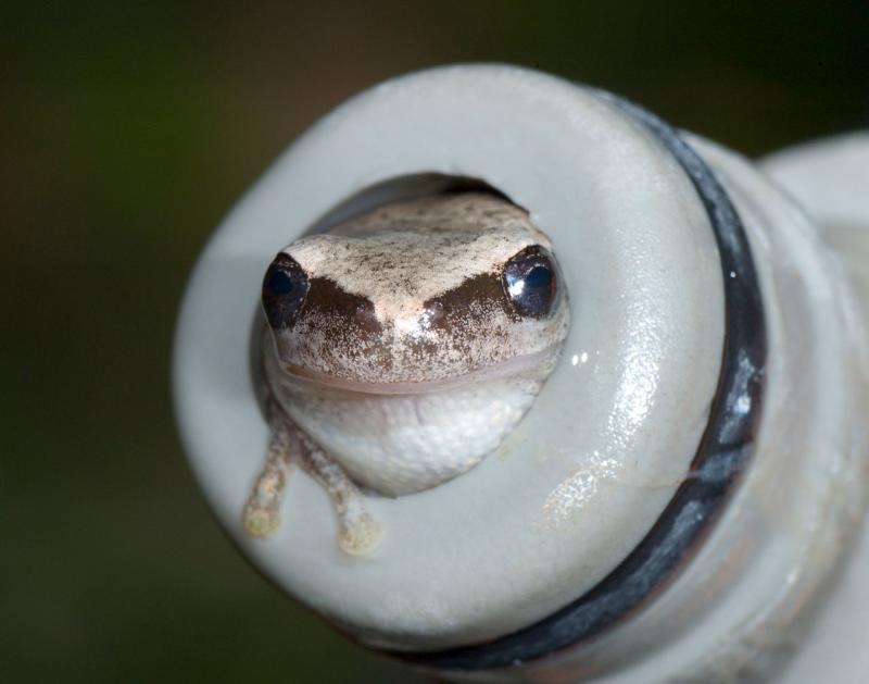 Litoria rubella, desert treefrog, in faucet, townsville (_DSC3467)