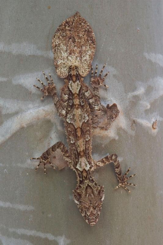 Leaf-tailed gecko <i> Saltuarius cornutus</i> kirrama 2004