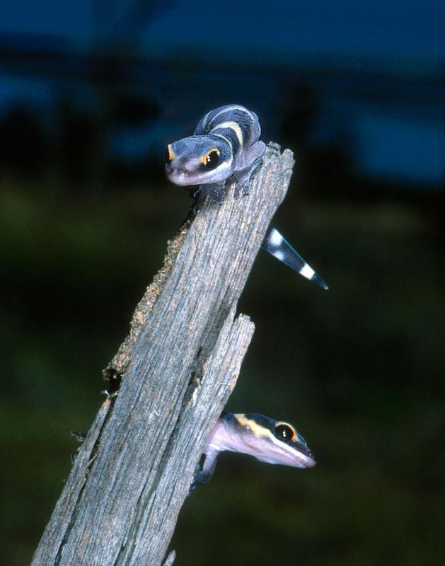 Young juvenile velvet geckos <i>Oedura </i> sp. Moorinya (u004311)