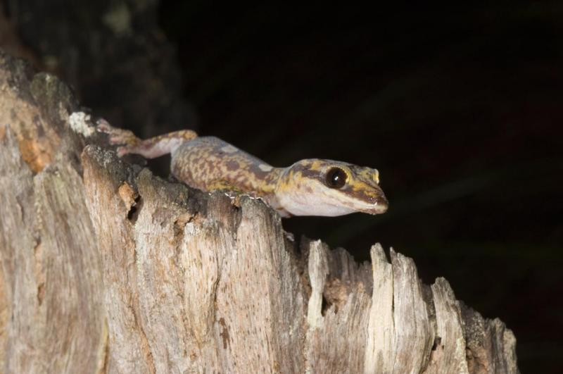 velvet gecko oedura monilis kirrama 2005 _DSC1623