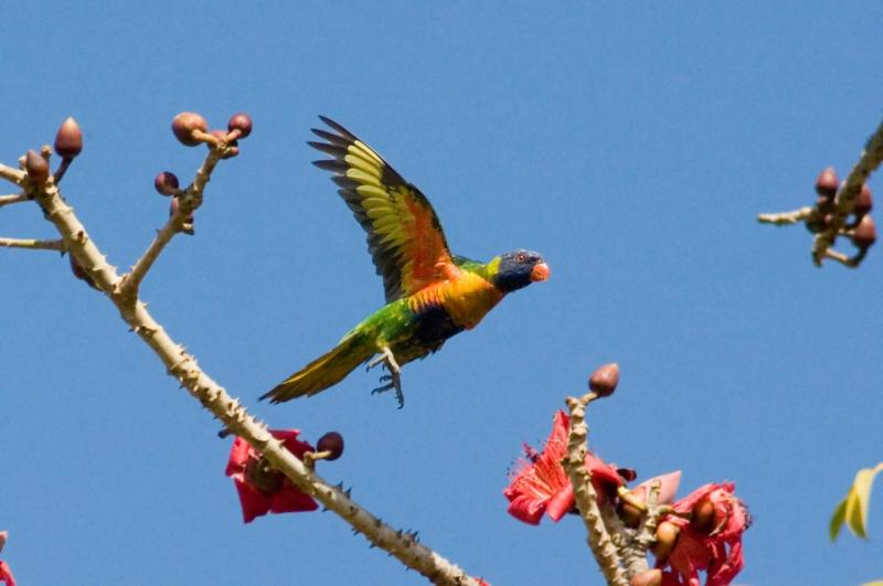 Rainbow Lorikeet at bombax tree _DSC1822