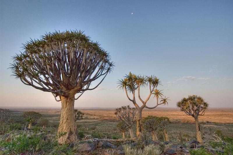 kokerboom (quiver trees) near Kenhardt _DSC2212