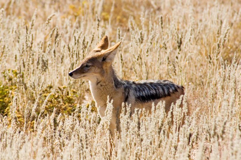 Black-backed jackal _DSC1729