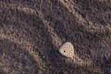 holey shell black sand hinchinbrook  island_DSC2950