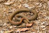 yellow faced whip snake kirrama 2005 _DSC1473