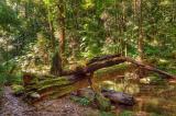 Birthday Creek, Paluma.  Fallen rainforest tree _DSC0721-5