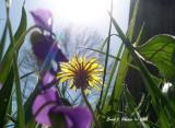 Dandelion in the Sun.JPG