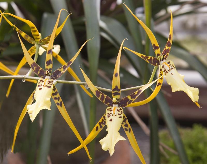 Brassia hybrid