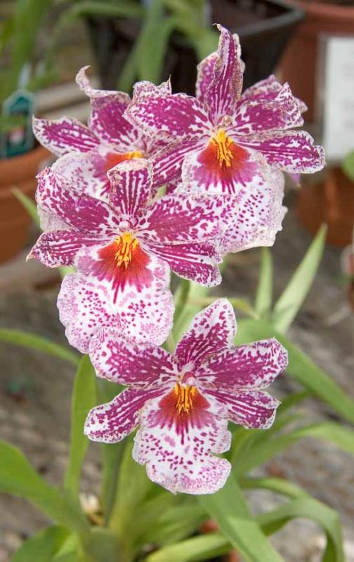 Magenta and White Orchid (Miltonia)